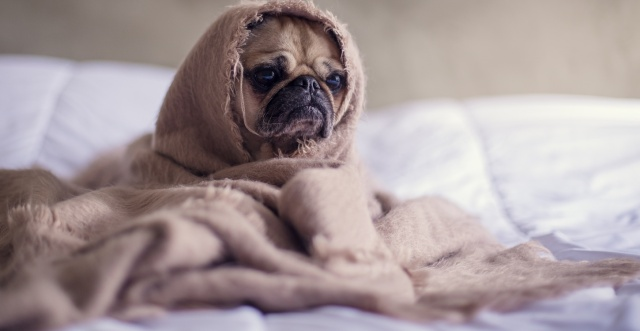 robed dog